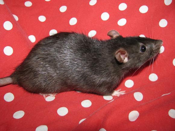 http://ratoumaniac.cowblog.fr/images/IMG0450.jpg